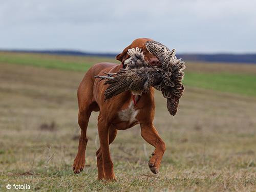 Hund mit Beute