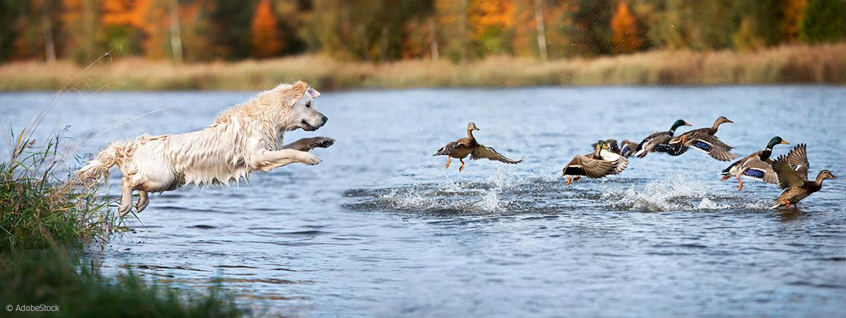 Hund jagd Enten im Wasser