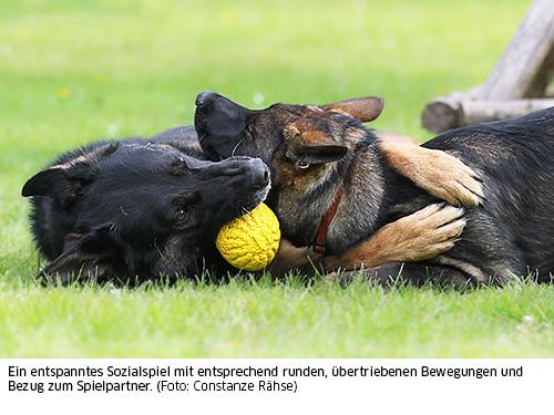 Hunde spielen miteinander